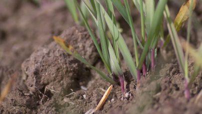 Surjord pa bygg rodlig stenger som folge av fosformangel